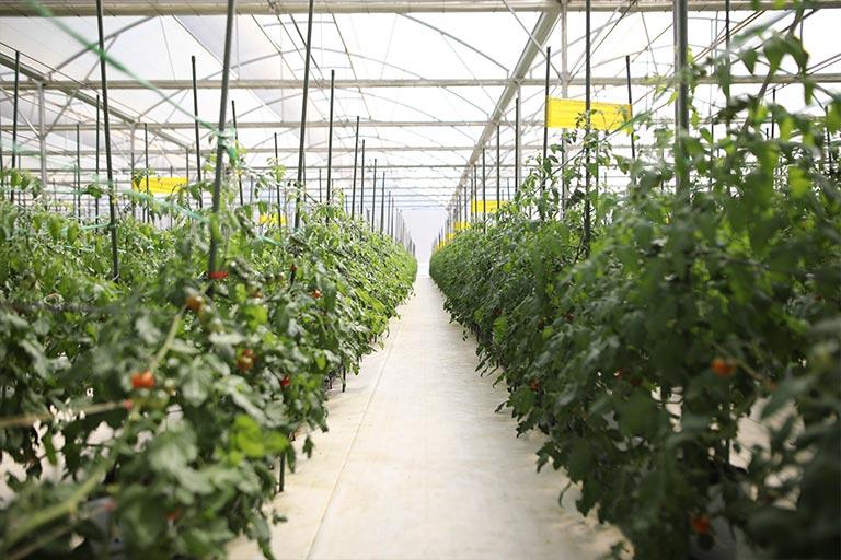 nông trại cà chua